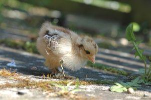 Cómo criar gallinas ponedoras-pollo
