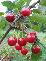 Cómo congelar cerezas escogidas frescas
