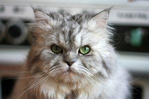 Las pestañas encarnadas en los gatos