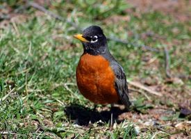 Datos del estado de Wisconsin Robin Bird