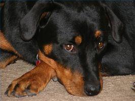 Los signos de anquilostomas en perros