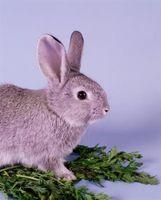 Cómo hacer que los conejos bebé Claro Están Comiendo