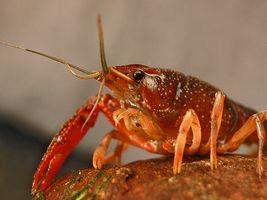 Partes del cuerpo de un cangrejo de río