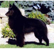 Cómo identificar un perro pastor belga