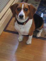 Entrenamiento del perrito del beagle