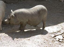 ¿Cómo deshacerse de la grasa en cerdos Mostrar