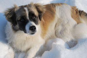 Los signos de insuficiencia hepática en un perro