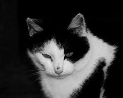 Los antibióticos comunes para gatos