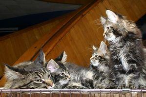 Cómo curar la pérdida del pelo en los gatos que mantienen a lamerse