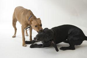 Cómo entrenar a un pitbull de Labrador-perrito de la mezcla