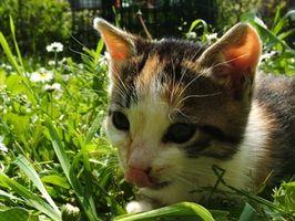 El tratamiento respiratorio a base de hierbas para gatos