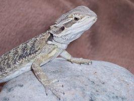 Dieta dragón barbudo juvenil