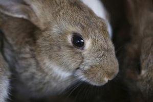 Los colores más comunes de los ojos de los conejos