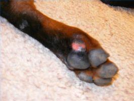¿Por qué los perros se lamen las patas constantemente?
