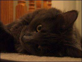 La vejiga del gato Síntomas de la infección