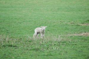 Cómo hacer que su propia casa Sustituto de leche por corderos