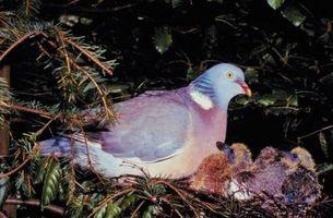 Lista de las razas de la paloma