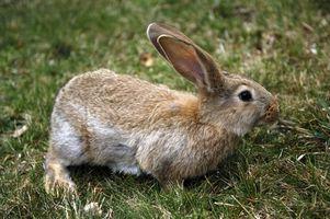 Como saber que un conejo madre está alimentando a su bebés