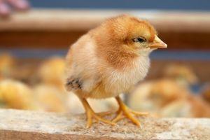 Ciclo de vida de los pollos del bebé