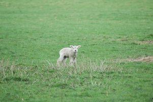 Cómo destetar a una oveja huérfano de un Sustituto de leche