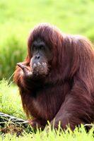 La dieta del orangután de Borneo