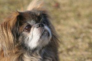 Información de la Salud en los perros de Pekingese