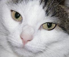 Cáncer de piel felina en la nariz