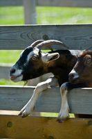 Cómo cuidar de las cabras Buck
