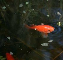 ¿Por qué hacer Goldfish cambio de color en el exterior Ponds?