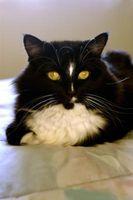 Remedio casero para un gato Bolita