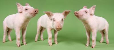 Como condición de un Show Pig