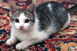 Gato UTI infección