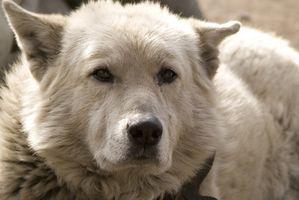 Cómo tratar la incontinencia en un perro más viejo