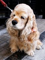 Signos y síntomas de la infección por levaduras del oído canino