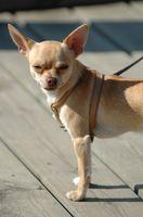 Cómo tratar problemas de rodilla en un perro pequeño