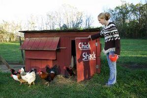 Cómo alimentar pollos en gallineros para huevos