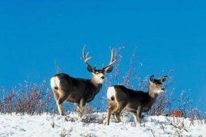¿Qué tipo de ciervos en vivo en el norte de California?