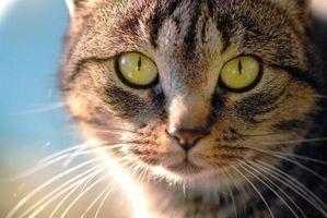 Acerca de Aceite de linaza para la diabetes felina