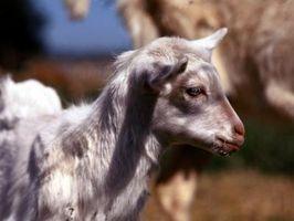 Cómo mezclar Cordero Sustituto de leche para un bebé de cabra