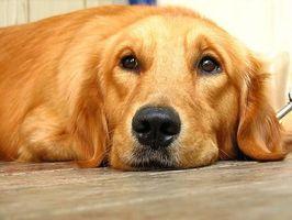Sobre los problemas de tiroides en perros