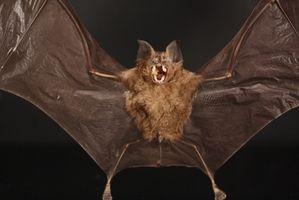 Datos de la hoja de la nariz de murciélago