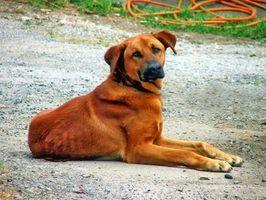 La mayoría de las enfermedades genéticas más comunes en los perros