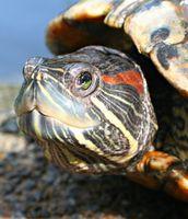 Cómo cuidar a las tortugas mascotas deslizantes