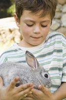 ¿Cómo sé que mi conejo está en celo y listas para reproducirse?