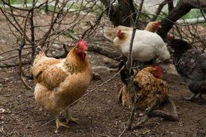 Cómo cuidar las gallinas ponedoras