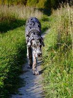 Las causas de la enfermedad de Addison en los perros
