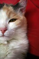 Cómo diagnosticar la enfermedad inflamatoria intestinal en los gatos