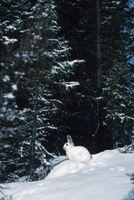 Liebres que viven en la tundra