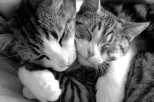 Control de pulgas de los gatos masticable
