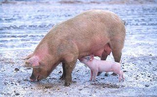 Cómo alimentar a los cerdos del criador